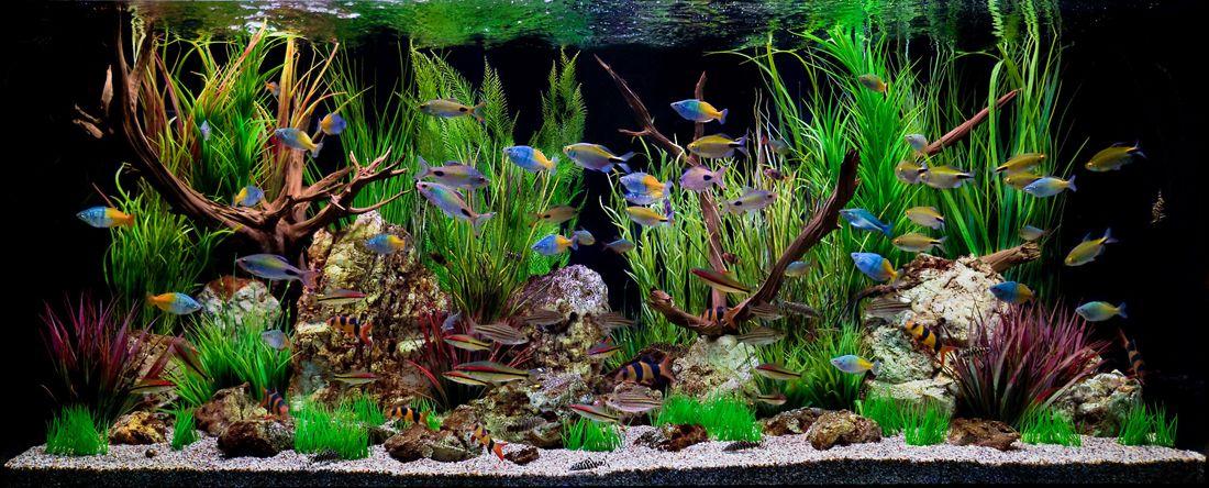Peces de acuario aprende a mantener cualquier especie de for Peces ornamentales acuarios