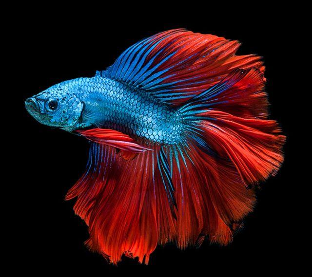 Los 11 tipos de peces de agua dulce para acuario tropical for Peces de colores para acuarios