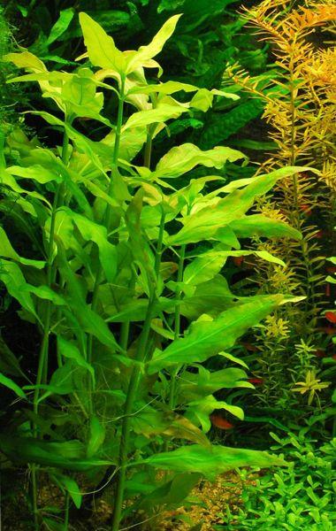 plantas para acuario de agua fr a las 11 imprescindibles On plantas para estanques de agua fria