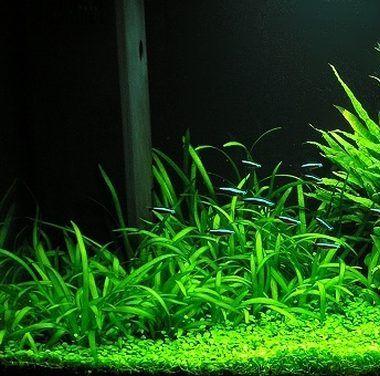 Plantas de acuario entra aqu para dominar la tem tica for Cuidados acuario agua fria