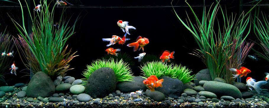Peces de acuario aprende a mantener cualquier especie de for Peces de agua fria para acuarios pequenos