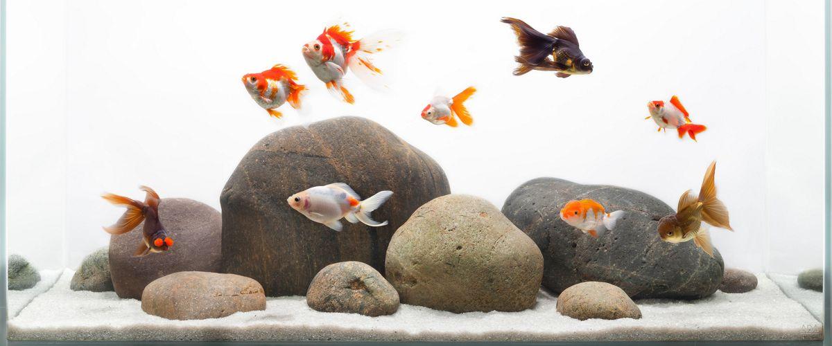 Peces de agua fr a tipos y mantenimiento b sico para for Alimentacion para peces de agua fria