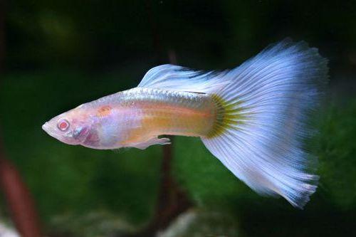 C mo cuidar a los peces guppy gu a del pez guppy para for Criadero de peces de colores