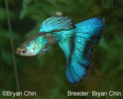 guppy de color azul