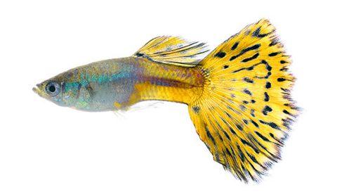 Los 11 tipos de peces de agua dulce para acuario tropical for Especies de peces