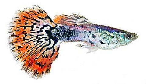 Guppy de cola naranja: una de las especies de peces de agua dulce para acuario más populares