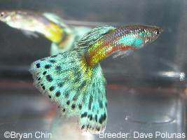 guppy de color bronce
