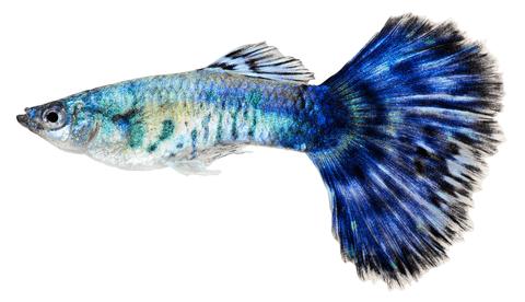 Los 11 tipos de peces de agua dulce para acuario tropical for Peces de agua dulce para peceras sin oxigeno