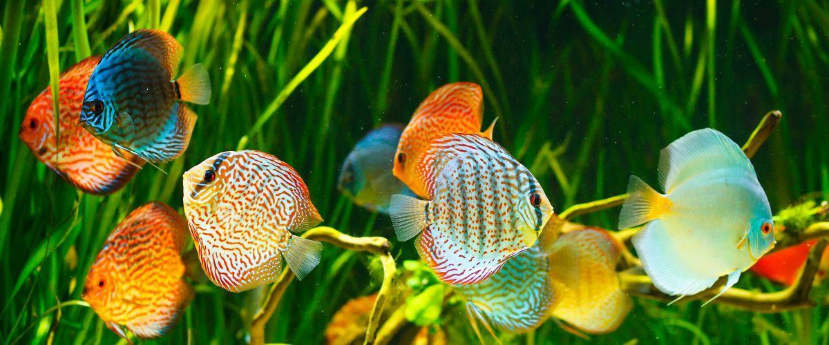 Los 11 tipos de peces de agua dulce para acuario tropical for Clases de peces de acuario