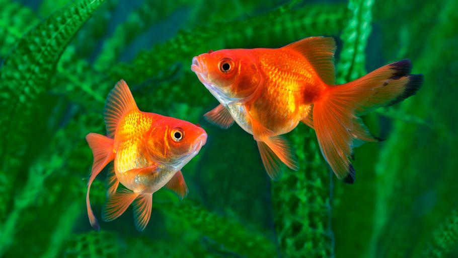 Peces de agua fr a tipos y mantenimiento b sico para for Peces goldfish tipos
