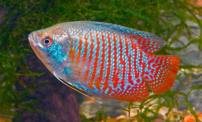 Peces de acuario aprende a mantener cualquier especie de for Peces marinos para acuarios pequenos