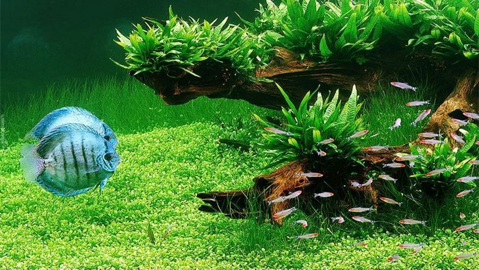 Peces de acuario de agua dulce tropical para aquascaping